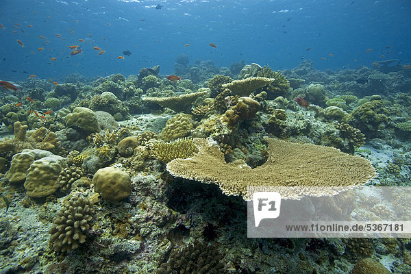 Coral reef with mostly hard coral  table coral (Acropora clathrata)  robust staghorn corals (Acropora robusta)  Maldives  Indian Ocean  Asia