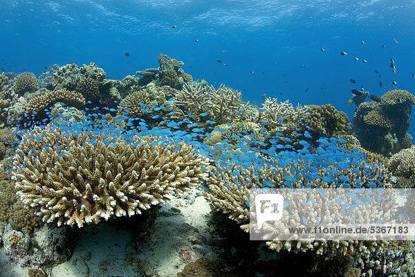 Grün-blaues Schwalbenschwänzchen (Chromis viridis) schweben über einem Korallenriff  Acropora-Steinkorallen  Geweihkoralle  Malediven  Indischer Ozean  Asien