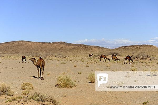 Dromedare (Camelus dromedarius) in der Wüste  Sahara  Südmarokko  Marokko  Maghreb  Nordafrika  Afrika