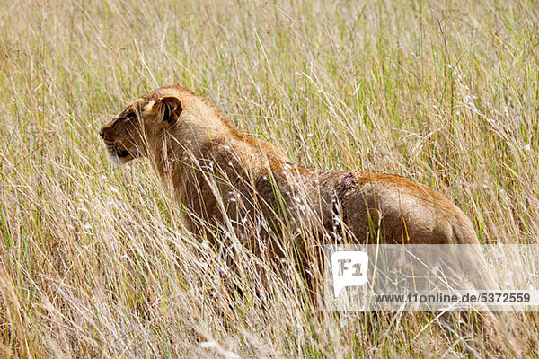 Jungen weiblichen Löwen in den Busch  Botswana