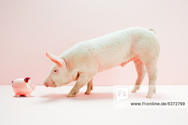 Ferkel schauendes Sparschwein im Studio