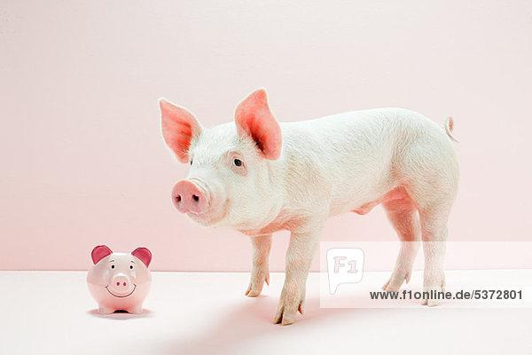 Ferkel mit Sparschwein im Studio