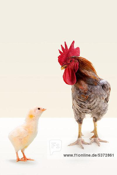 Hahn stehend mit Chick in studio Hahn stehend mit Chick in studio