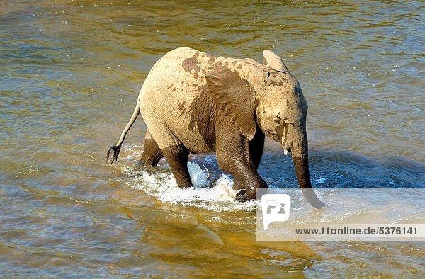 Südliches Afrika  Südafrika  Elefant  jung  Kruger Nationalpark