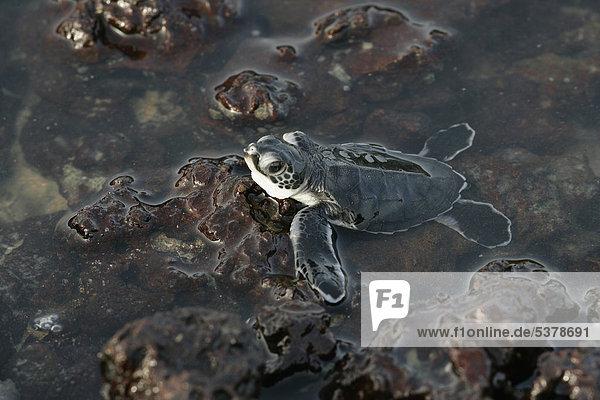 Afrika  Guinea-Bissau  Baby Schildkröte im Wasser  Nahaufnahme Afrika, Guinea-Bissau, Baby Schildkröte im Wasser, Nahaufnahme