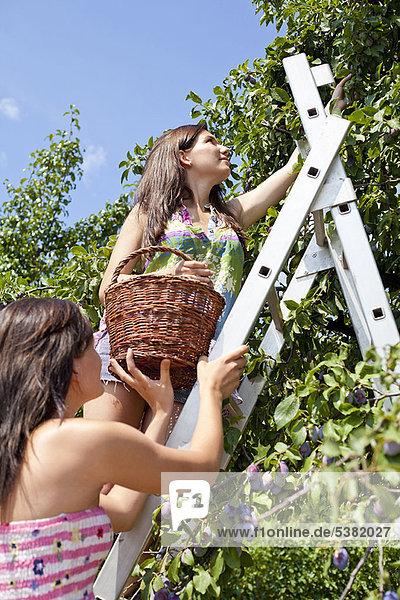 Frauen pflücken Obst vom Baum im Obstgarten
