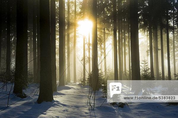 Verschneiter Tannenwald mit Sonne  Schwarzwald  Baden-Württemberg  Deutschland  Europa Verschneiter Tannenwald mit Sonne, Schwarzwald, Baden-Württemberg, Deutschland, Europa