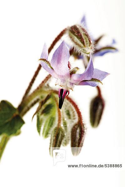 Blühender Borretsch (Borago officinalis)