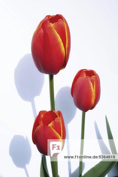 Rote Tulpen (Tulipa)