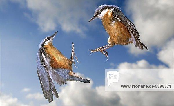 Zwei Kleiber  Sitta europaea  im Flug