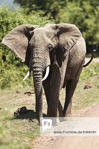 Afrikanischer Elefant (Loxodonta africana)  Lake Manyara Nationalpark  Tansania  Afrika