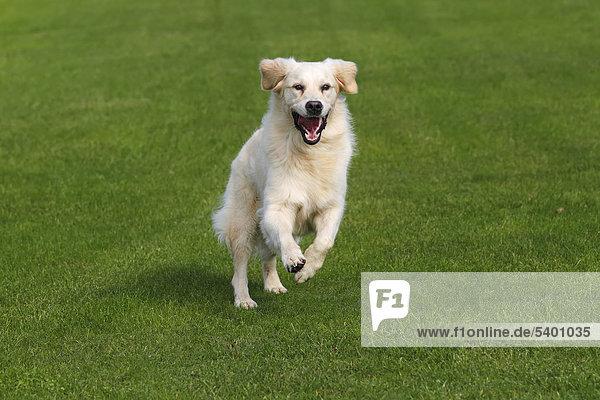 Laufender Golden Retriever (Canis lupus familiaris)  zweijährige Hündin