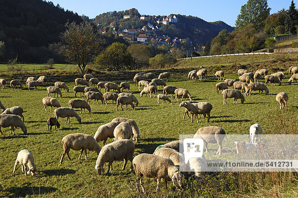 Flock of sheep on a pasture  Egloffstein with castle at back  Egloffstein  Upper Franconia  Bavaria  Germany  Europe