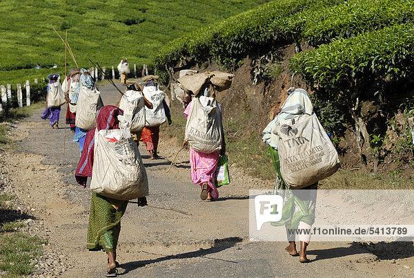 Teepflückerinnen auf dem Weg zur Arbeit  Teeplantage  bei Munnar  Kerala  Südindien  Indien  Asien