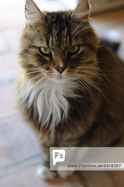 Tabby-Katze sitzt