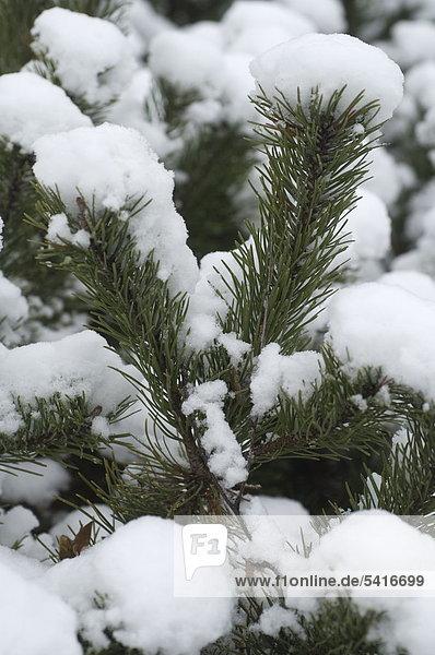 Schneebedeckte Zweig einer Kiefer