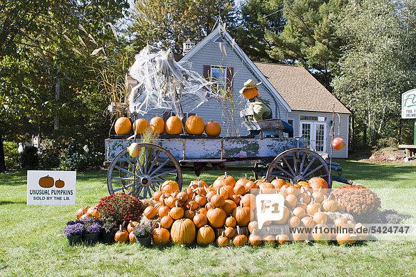 Vereinigte Staaten Von Amerika Usa Dekoration Neuengland Kurbis Grosse Halloween Maine