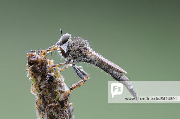 Raubfliege oder Jagdfliege (Asilidae)  Biosphärenreservat Mittlere Elbe  Mittelelbe  Sachsen-Anhalt  Deutschland  Europa