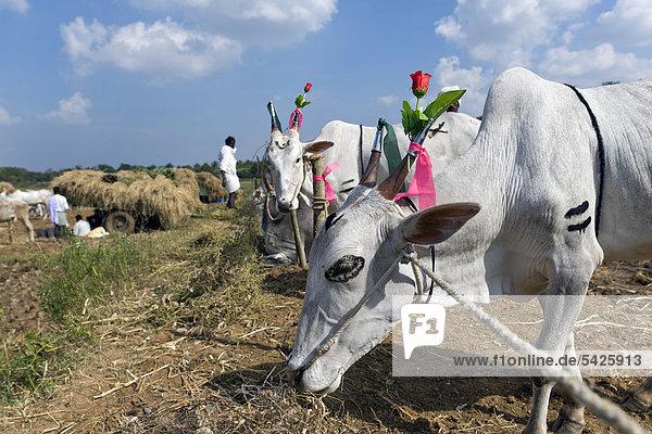 Decorated cattle  cattle market  Mysore district  Karnataka  South India  India  Asia