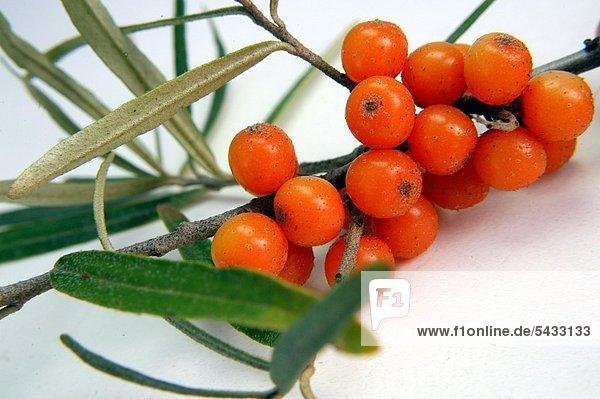 Sanddorn ( Hippophae rhamnoides ) Früchte Gegen Vitaminmangel   Appetitlosigkeit   Vorbeugung gegen Erkältungskrankheiten Sea Buckthorn