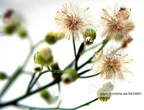 Kanadisches Berufskraut - Pflanze ( Kraut ) mit Blüten - Conyza canadensis Cronq. Kanadisches Berufskraut - Gegen Blutungen und Durchfallerkrankungen -
