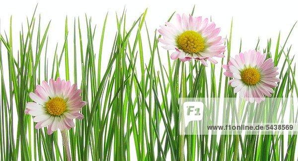 Gänseblümchen mit Gras vor weißem Hintergrund.