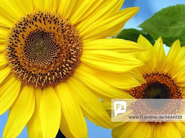 Sonnenblume Helianthus annuus Die Kerne der Sonnenblume haben einen Fettanteil von 50% mit größtenteils ungesättigten Fettsäuren und sind reich an unentbehrlichen Aminosäuren Mineralstoffen und Vitaminen