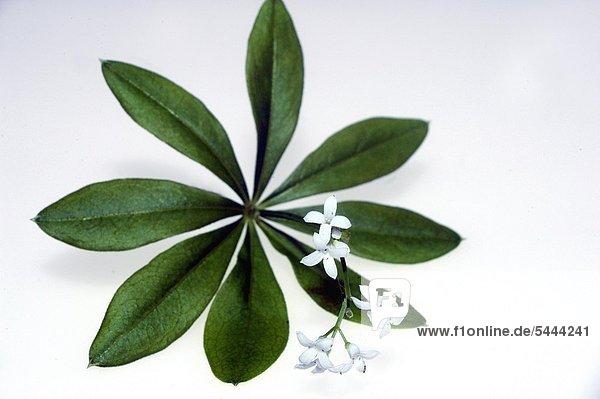 Waldmeister Galium odoratum gehört zur Gattung des Labkraut die Blätter werden als Würzkraut für Süßspeisen und Getränke verwendet Waldmeister enthält den Aromastoff Kumarin der in höheren Dosen Kopfschmerzen Schwindel Atemlähmung sowie Leber und Nierenschäden hervorrufen kann