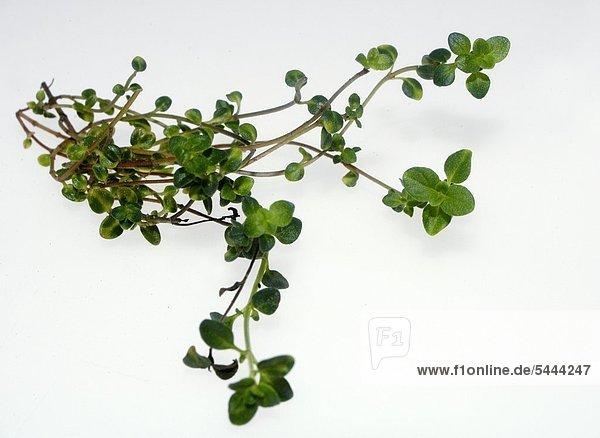 Thymian Thymus vulgaris Inhaltsstoffe : Thymolum - Bitterstoffe - Gerbstoffe - ätherische Öle - Anwendung bei - Magenkatarrh - Darmkatarrh - Verschleimung der Atemwege - Bronchienkatarrh - fördert die Verdauung - Rachenentzündung - Mandelentzündung - rheumatische Beschwerden