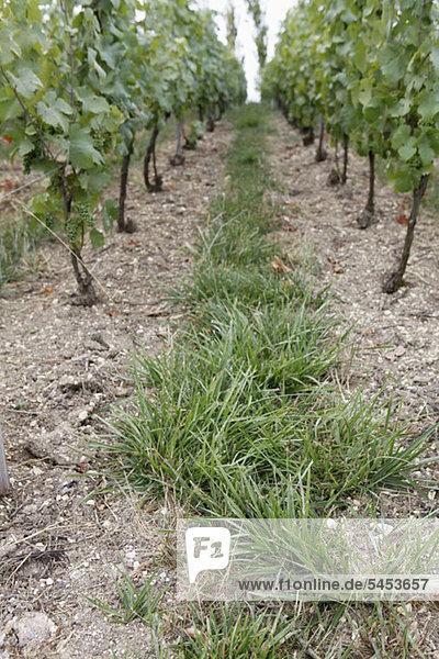 Trail of grass in vineyard