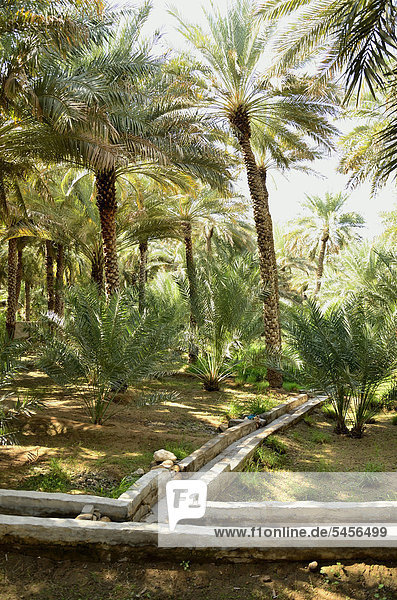 Palm park with water canals in the Al Ain oasis  Unesco World Heritage Site  Abu Dhabi  United Arab Emirates  Arabian Peninsula  Asia