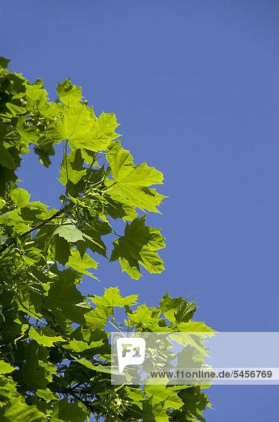 Ahornblatt Himmel Ast blau