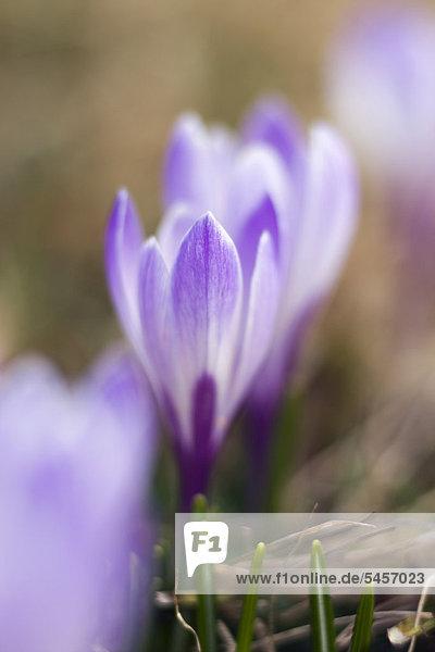 Frühlings-Krokus oder Frühlings-Safran (Crocus albiflorus)