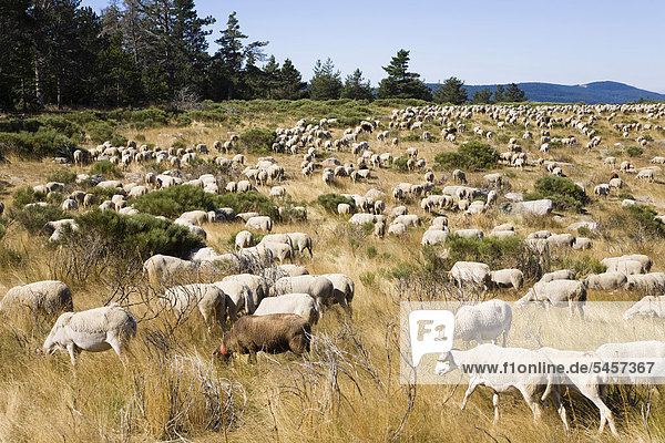 Herd of sheep in the Cevennes National Park  France  Europe