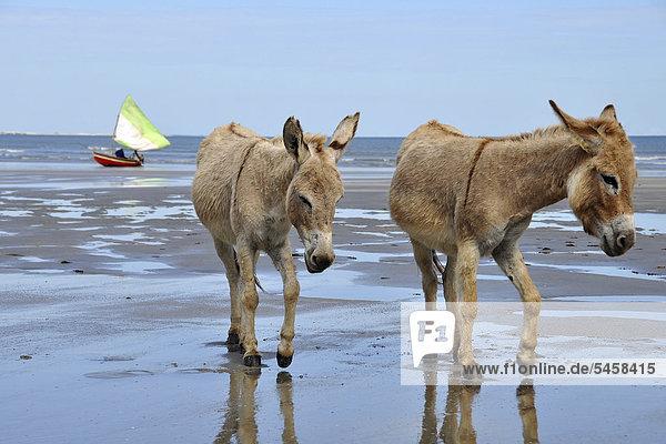 Two donkeys on the beach  Jericoacoara  Cear·  Brazil  South America
