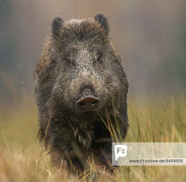 Wild boar (Sus scrofa)  in captivity  Czech Republic  Europe