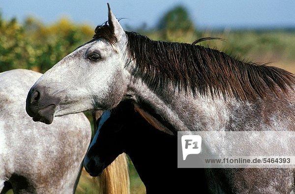 Lusitano Horse  Herd standing in Meadow