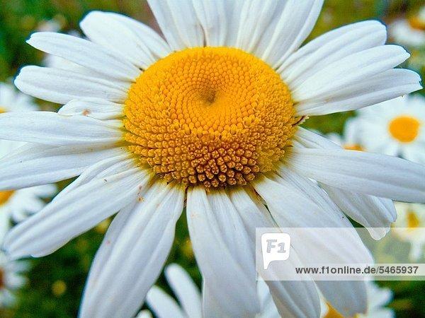 Gänseblümchen close up