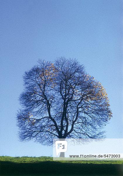 Laubbaum ohne Blätter