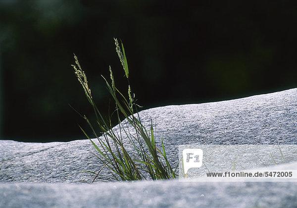 Gräser wachsen aus Felsspalte