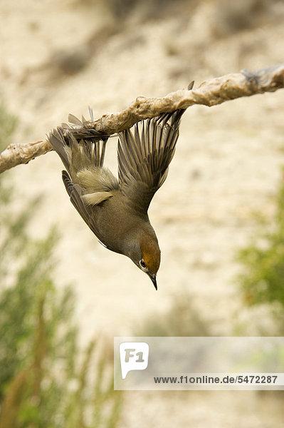 Mönchsgrasmücke (Sylvia atricapilla)  die illegal mit einem klebrigen Stock gefangen wurde  für das Gericht Ambelopoulia  das aus Singvögeln zubereitet wird  Zypern