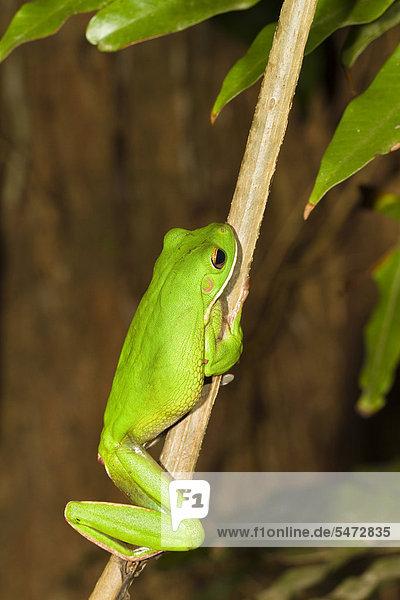 Riesenlaubfrosch (Litoria infrafrenata)  Regenwald  Iron Range Nationalpark  Cape York Halbinsel  nördliches Queensland  Australien Riesenlaubfrosch (Litoria infrafrenata), Regenwald, Iron Range Nationalpark, Cape York Halbinsel, nördliches Queensland, Australien