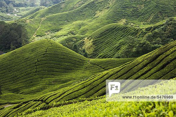Teeplantage Teeplantage