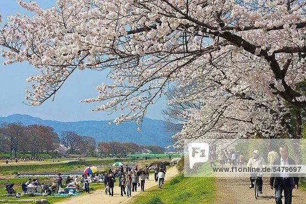 nebeneinander  neben  Seite an Seite  Baum  über  Weg  hängen  Kirsche  Blüte  Fluss  blühen  voll