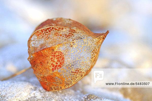Physalisfrucht  Kapstachelbeere (Physalis peruviana) Physalisfrucht, Kapstachelbeere (Physalis peruviana)