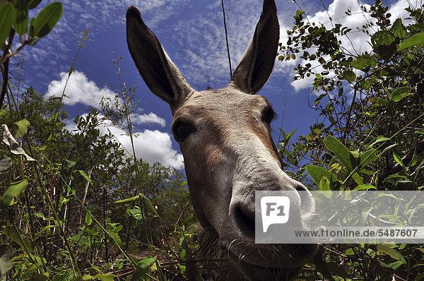 Curious donkey  Chapada Diamantina  Bahia  Brazil  South America