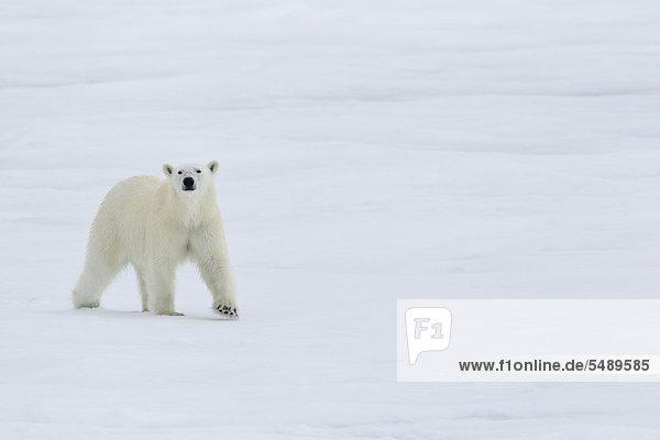Europa  Norwegen  Spitzbergen  Eisbär beim Eislaufen