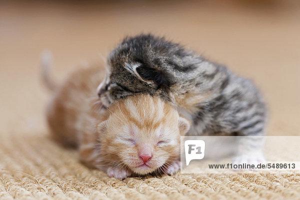 Deutschland  Neugeborene Kätzchen schlafen auf Teppich  Nahaufnahme Deutschland, Neugeborene Kätzchen schlafen auf Teppich, Nahaufnahme