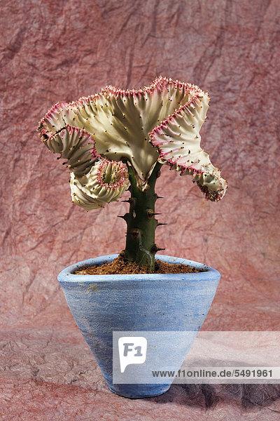 Wolfsmilch (Euphorbia) in einem Blumentopf