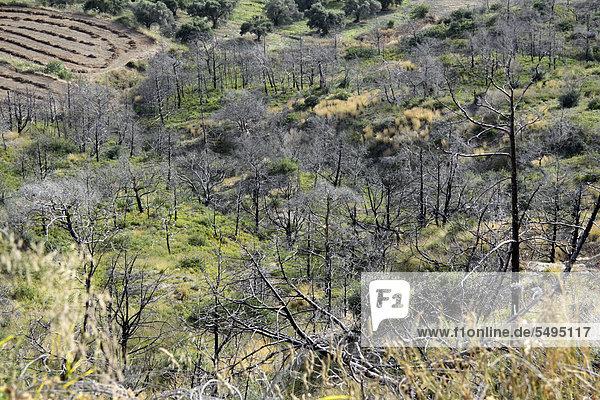 Abgebrannte Bäume  Brandkatastrophe auf Rhodos  Griechenland  Europa